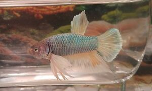 Dumbo Ear/Elephant Ear Betta Fish London Ontario image 7