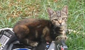 Tabby kitten Heatherbrae Port Stephens Area Preview