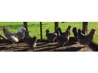 Large Cream Legbar pullets for sale. Poultry, chickens, layers