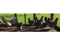 Large Cream Legbar Blue egg layers. Hens, poultry, chickens,