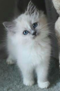 Wanted: Looking for a very CUDDLY RAGDOLL kitten or cat