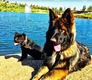 German Shepherd AND English Staffordshire Bull Terrier Pakenham Cardinia Area Preview