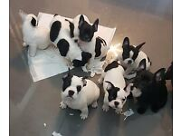 3 Beautiful French Buldog Puppies Left!!!