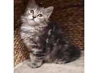 Maincoon kitten