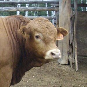 Polled Limousin Bulls for sale ... long yearlings! Prince George British Columbia image 5
