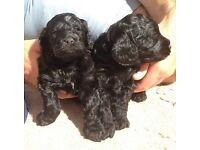 F1 Black Velvet Cockapoo Puppies