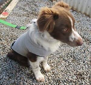 Border Collie X (Rex) is ready for adoption. York York Area Preview