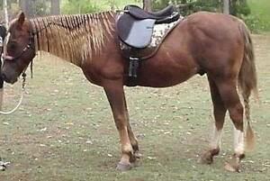 Free Quarter Horse Gelding Gympie Area Preview