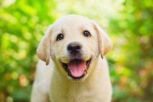 Looking for a Labrador puppy Applecross Melville Area Preview