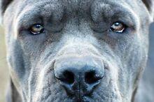 Cane Corso puppies Carlton Melbourne City Preview