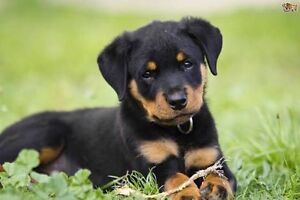 Wanted Big Dog breed puppy or dog Byford Serpentine Area Preview