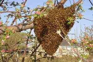 FREE BEE SWARM REMOVAL Invermay Launceston Area Preview