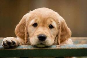 Wanting to buy Golden Retriever puppy North Fremantle Fremantle Area Preview