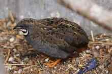 3 male king quails Cessnock Cessnock Area Preview