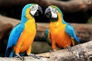 Lost macaw - updated Lake Macquarie Area Preview