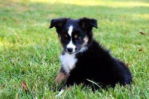 WANTED! Tricolour Border Collie male pup Mile End West Torrens Area Preview