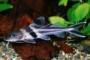 WTB Pimelodus Ornatus Bayswater Bayswater Area Preview