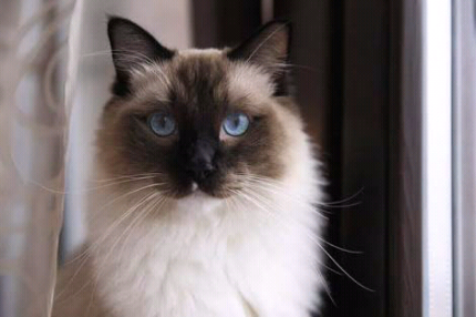 Wanted: Want to buy Ragdoll kitten