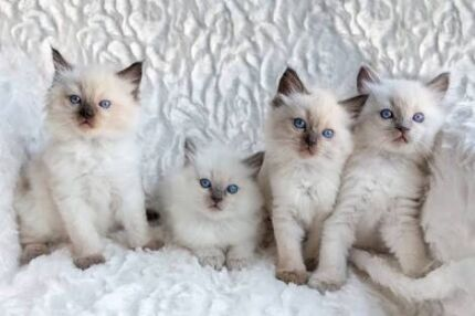 Wanted: Wanted: Looking for a ragdoll kitten