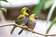 cuban finch pair Anketell Kwinana Area Preview