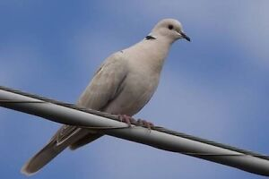 FREE Pair of Barbary Doves Giveaway Mid Murray Preview