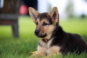 Looking to find a pure breed german shepherd puppy Cobram Moira Area Preview