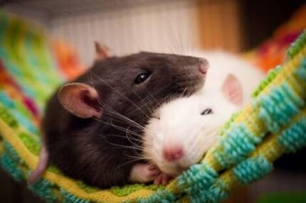 Wanted: Rehome your rats!