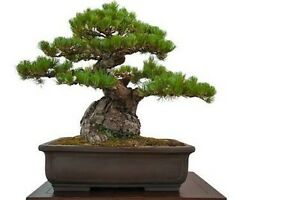 Massive bonsai sale. Discounted prices. Selling fast. Hampton Park Casey Area Preview