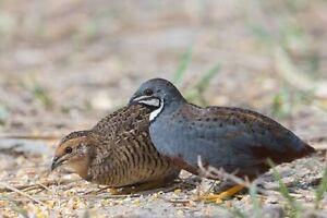WTB Female King (Button) quails Ngunnawal Gungahlin Area Preview