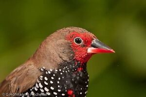 Painted firetail finches (emblemas) Cranbourne Casey Area Preview