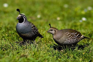 WANTED. Californian Quail Burra Queanbeyan Area Preview