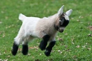 LOOKING FOR A MINIATURE GOAT North Parramatta Parramatta Area Preview