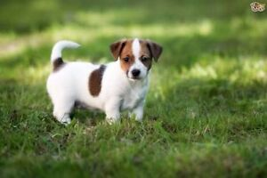 WANTED jack Russell Currambine Joondalup Area Preview