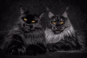 WANTED Black, Blue or Grey Maine Coon Ruse Campbelltown Area Preview