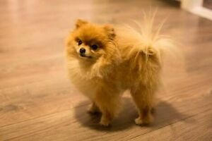 WANTED : Tea Cup Pomeranian Ryde Ryde Area Preview