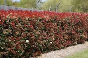 Photinias Wanted! Glengowrie Marion Area Preview