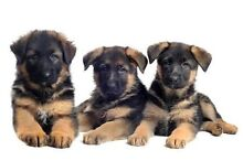Wanted German Shepherd puppy Wallan Mitchell Area Preview