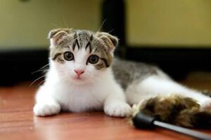 Wanted female Scottish fold South Brisbane Brisbane South West Preview