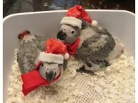 Adorable baby hand reared African grey Congo Heathy Talking Parrot