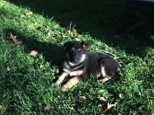 Now Available; Beautiful Shepherd Puppies
