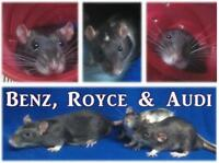 "Baby Male Small & Furry - Rat-Rat: ""Audi"""