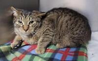 "Young Male Cat - Tabby - Brown: ""Derek"" Gatineau Ottawa / Gatineau Area Preview"