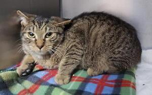 "Young Male Cat - Tabby - Brown: ""Derek"""