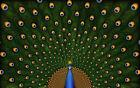 Canvas Peacock Decorative Posters & Prints