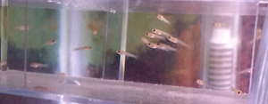 20 BABY GUPPIES (all for $15)