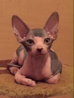 3 Chaton Sphynx Mâle Disponible!