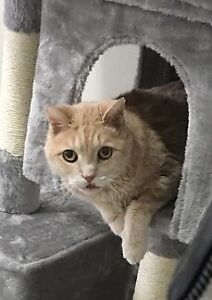 Sweet Orange Cat Needs Loving Home