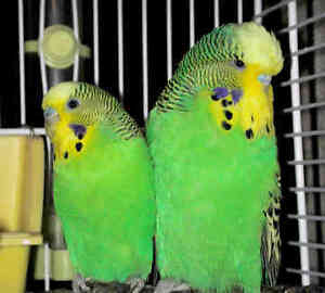 Looking for an English Budgie