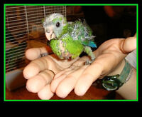 Professional Pet Sitter for budgies, small parrots & song birds