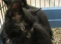 """Young Male Cat - Domestic Short Hair-black: """"Rodrigue"""""""
